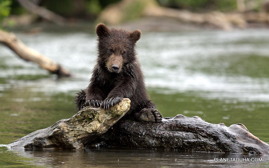 Медвежонок бурого медведя - Катунский Заповедник - Горный Алтай