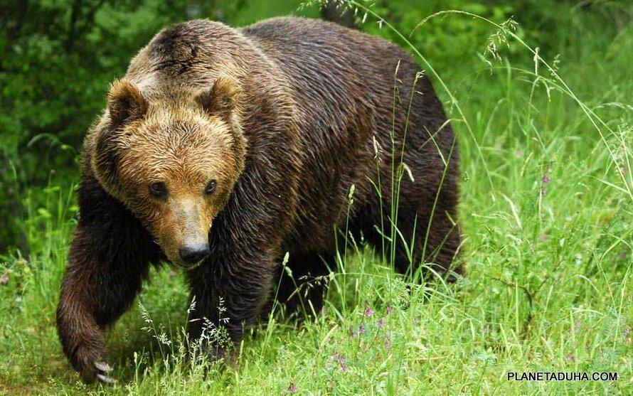Тянь-Шаньский бурый (Белокоготный) медведь